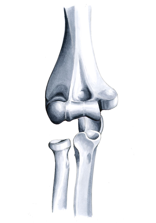 Anatomie des Ellenbogengelenks – Alessandro Holler